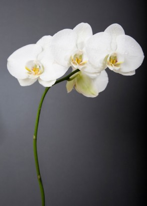 Sugar Flowers: Orchids Course